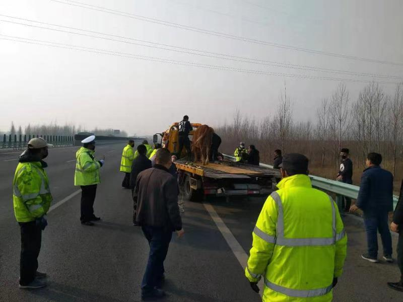 高速交警赵县大队及时处置一起牲畜上高速事件
