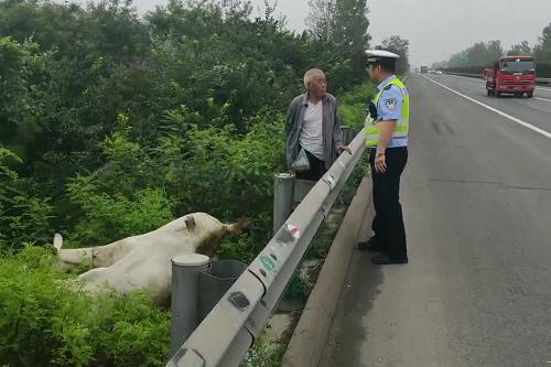 高速交警赵县大队民警及时处置一起羊群上高速事件